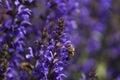 Honeybee bee in a lavender field Stock Photos