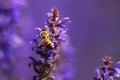 Honeybee bee in a lavender field Stock Images
