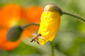 Honeybee collecting pollen from yellow poppy flower Stock Photos