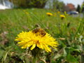 Honeybee on dandelion meadow Stock Images