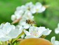 Honeybee in flight a russian caught between blossoms Royalty Free Stock Photo