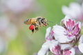Honeybee flying with big red pollen basket Royalty Free Stock Photo