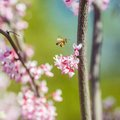 Honeybee flying at a pink flower Royalty Free Stock Photo