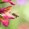 Honeybee flying to foxglove flower Royalty Free Stock Image