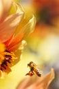 Honeybee flying to orange dahlia flower Stock Image