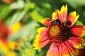 Honeybee on Gaillardia pulchella Foug, Blanket Flower Royalty Free Stock Photo
