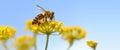 Honeybee harvesting pollen Royalty Free Stock Photo