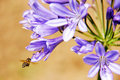 Honeybee harvesting pollen from blooming flowers close up in flower garden Royalty Free Stock Photo