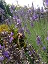 Honeybee in the lavender feeding on flower Stock Photos