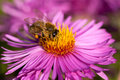Honeybee on pink flower collecting pollen from an aster Royalty Free Stock Images