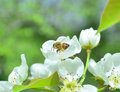 Honeybee pollenating a russian a pear blossom Stock Image
