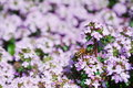 Honeybee on spring thyme flowers Stock Images