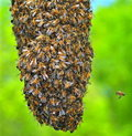 Honeybee Swarm Royalty Free Stock Photo