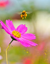 Honeybee taking off a from a flower with some pollen spraying Stock Photos
