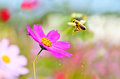 Honeybee taking off a flying from a flower with some pollen spraying Royalty Free Stock Photo