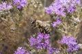A honeybee on wild thyme Royalty Free Stock Photo