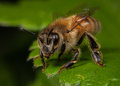Honeybee worker apis mellifera resting on a leaf Royalty Free Stock Image