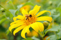 Honeybee on a yellow mexican sunflower honey bee Royalty Free Stock Photo