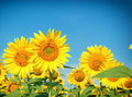 Honeybees bess on sunflower and beautiful clear sky Royalty Free Stock Images