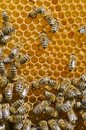 Honeybees on a comb Stock Photography