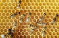 Honeybees on a comb Royalty Free Stock Photography