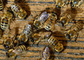 Honeybees come into hive Royalty Free Stock Photo