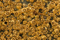 Honeycomb Barnacles Royalty Free Stock Photo