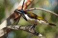 Honeyeater australia blue faced nitmiluk national park Stock Image
