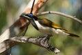 Honeyeater australia blue faced nitmiluk national park Stock Image