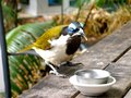 A honeyeater bird with honey on its beak byron bay animals enjoying Royalty Free Stock Photography