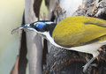 Honeyeater blue faced catching a lizard Royalty Free Stock Images