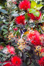 Honeyeater chick hiding in the foliage a blue faced between and red flowers Stock Images