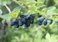 Honeysuckle berries Fotos de archivo libres de regalías