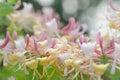Honeysuckle flowers Royalty Free Stock Photo