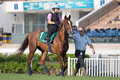 Hong kong international races morning trackwork red cadeaux walks past the turf track during a session at sha tin racecourse in Royalty Free Stock Photos