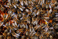 Honigbienen auf Wabe Royalty Free Stock Photos