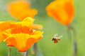 Honney bee honey collecting pollen from california golden poppies Royalty Free Stock Images