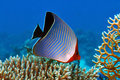 Hooded butterflyfish Royalty Free Stock Photo