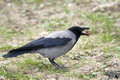 Hooded crow / Corvus corone cornix Stock Photography