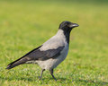 Hooded crow on a meadow corvus cornix walks calmly green in lithuania showing its more appealing plumage and intelligent look Stock Photos