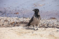 Hooded crow on the seaside corvus cornix Royalty Free Stock Photos