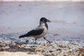 Hooded crow on the seaside corvus cornix Royalty Free Stock Images