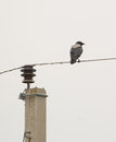 Hooded crow on the wire a corvus cornix perches unstable relative comfort of an electric cable close to a pole in lithuania Stock Photography