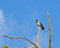 Hooded crow on withered pine perching a top of Royalty Free Stock Photos