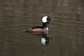 Hooded merganser a in full plummage on a wetland Stock Images