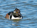 Hooded merganser male floating in the water Royalty Free Stock Photos