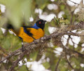 The Hooded Mountain Tanager Stock Photos