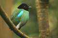 Hooded pitta Stock Photo
