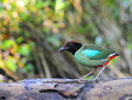Hooded pitta magnificent birds flashy colors Royalty Free Stock Images
