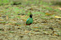 Hooded pitta pitta sordida beautiful on ground Stock Photography